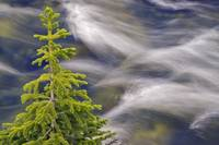 Spruce Tree And Creek, Highwood Pass, Kananaskis C