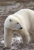 Polar Bear Who Is Very Dangerous Looking As He Exp