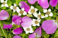 Close Up Of Prickly Rose Petals And Dwarf Dogwood,