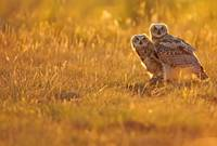 Immature Great Horned Owls Backlit In A Grass Fiel