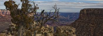 Raven Sitting On Tree On The South Rim Of The Gran