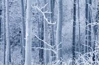 Frost coated birch forest near Knik River Mat-Su V