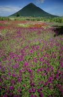 Japan, Kyushu, Field Of Purple Flowers Near Mount
