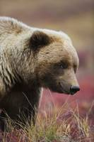 Close Up Portrait Of A Grizzly Bear In Denali Nati