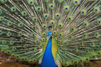 Close-Up Of Brightly Colored Peacock With Feathers