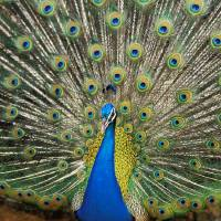 """Close-Up Of Brightly Colored Peacock With Feathers"" by DesignPics"