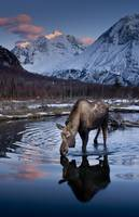 Moose drinking from a pond with Polar Bear Peak, C