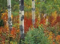 Aspen Trees And Fireweed, Kananaskis Country, Albe