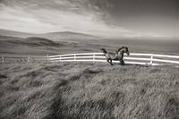 Hawaii, Big Island, Kohala Ranch, Horse Running Al