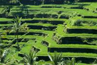 Indonesia, View Overlooking Lush Green Rice Terrac