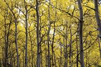 Autumn scenic of colorful yellow Aspen trees Eagle