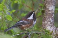 Chestnut-Backed Chickadee Perched On A Spruce Bran