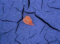 Closeup of autumn colored cottonwood leaf laying o