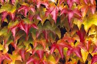 Close-Up Of Group Of Fall Colored Ivy Growing Toge