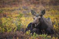 Cow Moose, Powerline Pass, Chugach State Park, Chu