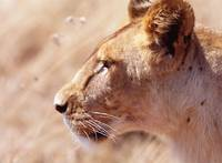 Lioness Staring Intently At Passing Gazelle, Close