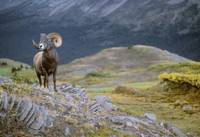 Rocky Mountain Bighorn Sheep, Jasper National park
