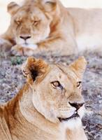 Lionesses Lying In Shade In Maasai Mara Game Reser