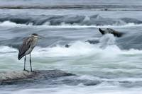 Great Blue Heron Hunting In A River, Coteau-Du-Lac