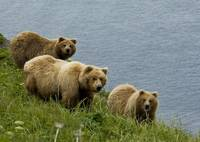 Brown bear sow and cubs eating sedge grasses in Ha