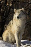 Grey Wolf In Ecomuseum Zoo Ste-Anne-De-Bellevue Q