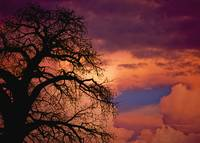 Silhouette Of Baobab Tree At Dusk