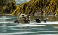 Sea Otter floating with pup in Orca Inlet