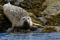 Harbor seal rests on the rocky shore of Kukak Bay
