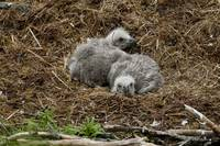 Two Bald Eagle chicks resting in their nest Kukak