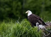 Bald Eagle nesting with her chick Kukak Bay Katmai