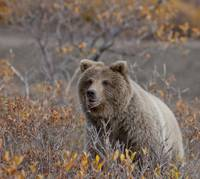 Brown Bear sits in fall colors in Denali National