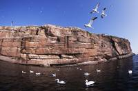 Gannets Flying And Nesting On Bonaventure Island,