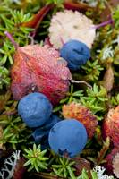 Close up of blueberries amongst fall tundra plants