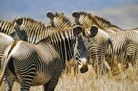 Grevy's Zebras On Savannah, Kenya