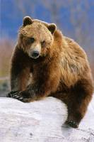 Brown Bear sitting atop log Alaska Wildlife Conser