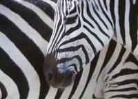 Zebras Face And Mid Body, Close Up Tanzania