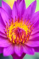 Pink Water Lily Flower, Yellow Center