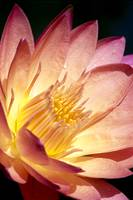 Pink Water Lily With Yellow Inside