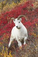 A Dall sheep ram stands in colorful Autumn bushes