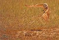 Burrowing Owl Taking Flight, Saskatchewan, Canada