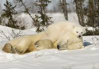 Polar Bear With Cub In Snow