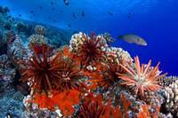 Hawaii, Slate Pencil Urchin,