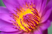 Water Lily, Bright Pink With Yellow Center