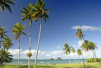 Fiji, Taveuni, Grassy Shoreline With Tall Palm Tre