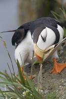 Horned Puffin gathering nest material to line its