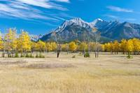 Aspens In A Meadow In Banff National Park Banff,