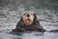 Close up of a Sea Otter swimming on back in Prince