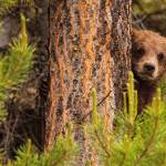 """Grizzly Bear Cub Up A Tree, Yukon, Canada"" by DesignPics"