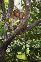 Two Monkeys In A Tree Tamil Nadu, India