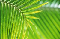 Thailand, Nong Bua Lumphu, Close-Up Of Palm Leaves